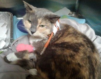 Treatment of Hepatic Lipidosis in Cats