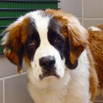 St. Bernard at Foster Hospital for Small Animals