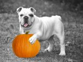 bulldog with pumpkin