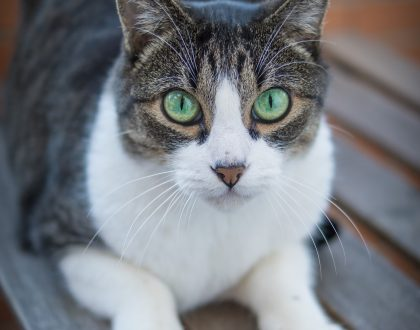 Managing Hyperthyroidism with Diet in Cats