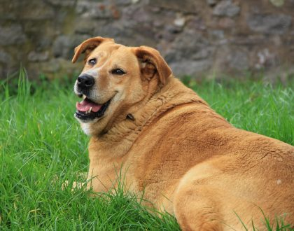 Five Ways Being Overweight Can Harm Your Dog's Health