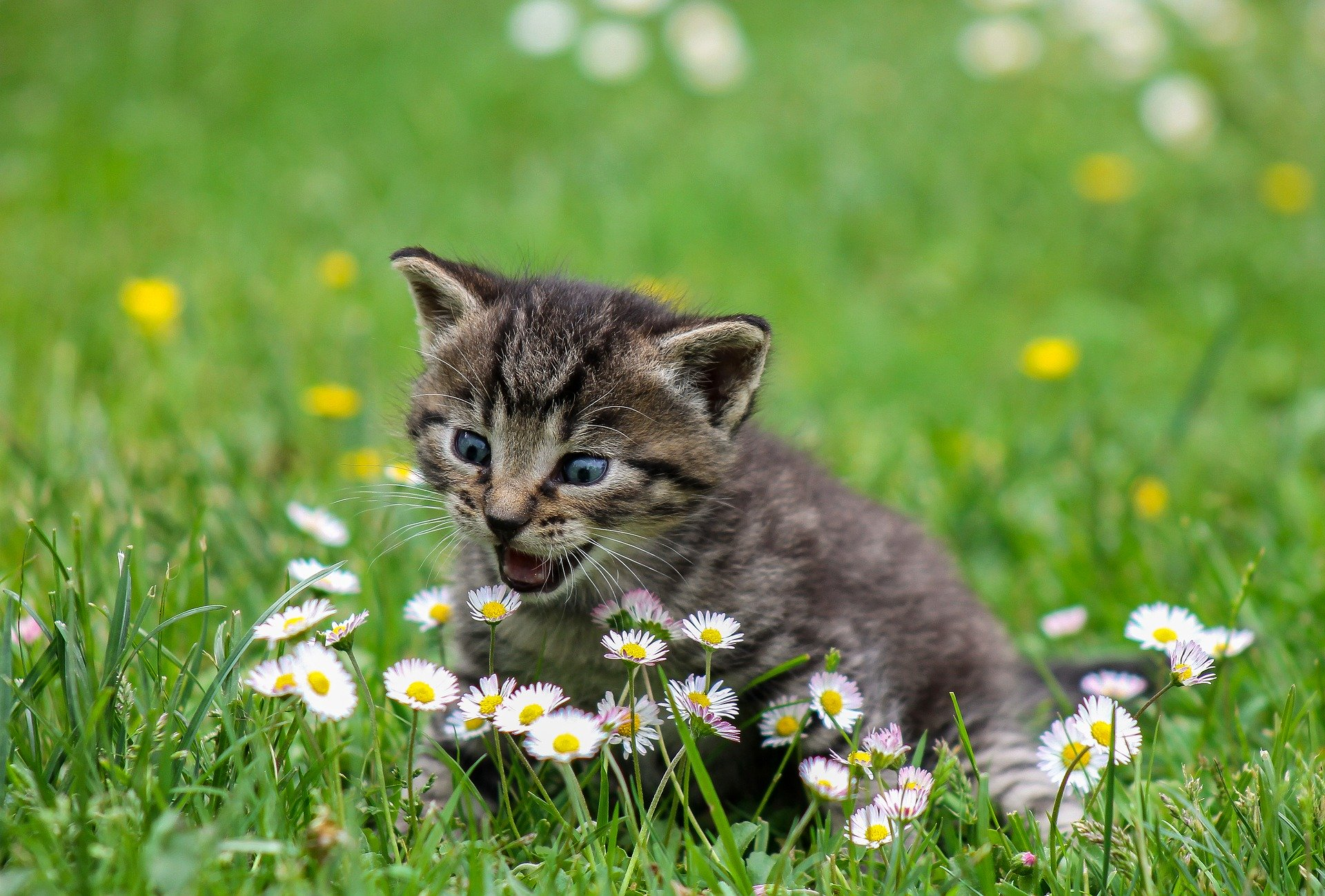 Your Kitten's Diet is Linked to her Health as an Adult