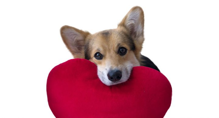 lovely-loving-dog-with-a-red-heart-on-a-white-background-picture-id898894780