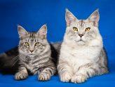 maine-coon-2934708_1280