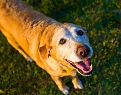 Helping an old dog or cat maintain his tricks: Nutritional management of Cognitive Dysfunction